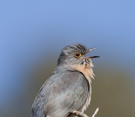 Cuckoos information Information is what matters in every content 1200px Cacomantis flabelliformis 534x462